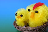 Easter chicks on blue background — Stock Photo
