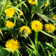 Dandelions — Stock Photo #2046569