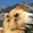 Proud camel - Stockfoto