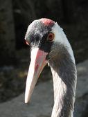 Grey crane — Stock Photo