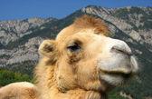 骄傲的骆驼 — 图库照片