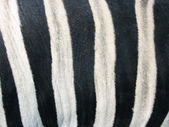 Skin of a zebra — Stock Photo