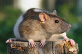 Mouse on the stump — Stock Photo