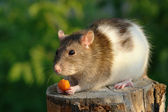 Mouse with carrot — Stock Photo
