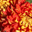 Chrysanthemum — Stock Photo #2117883
