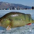 The perch on ice — Foto Stock