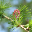 Fir-tree young cone - Stock Photo