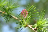 Fir-tree young cone — Stock Photo