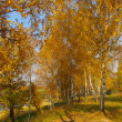 Stock Photo: Autumn birch grove