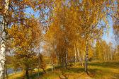 Autumn birch grove — Stock Photo