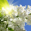 Stock Photo: Branch of lilac flowers in sunny day