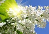 Branch of lilac flowers in sunny day — Stock Photo