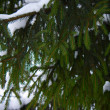 Stock Photo: Green fir tree branch