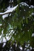 Green fir tree branch — Stock Photo