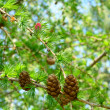 Stock Photo: Fir-tree cones