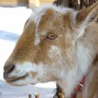 Nigerian Dwarf Doe Goat — Stock Photo