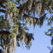 Spanish Moss - Stock Photo