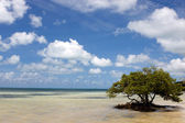 Lone Mangrove Tree — Stock Photo