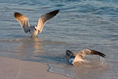 Two Seagulls Struggle On Fishing Line — Stock Photo