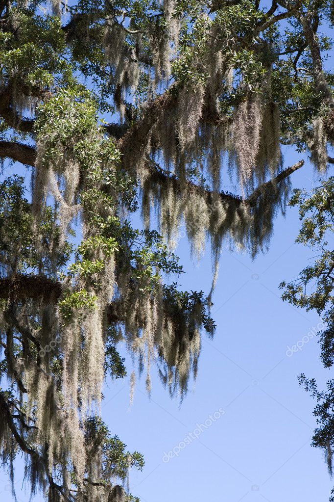 Spanish moss grows by hanging from the branches of an oak tree in the south. — Stock Photo #1414341
