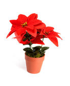 Holiday flower — Stock Photo