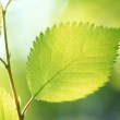 Green leaves background in sunny day — Stock Photo #1396757
