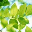Green leaves background in sunny day — Stok fotoğraf