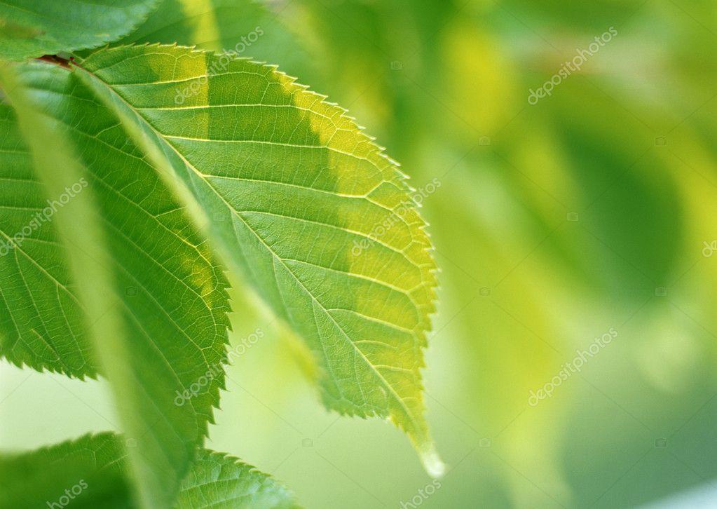 在阳光灿烂的日子中的绿色的树叶背景