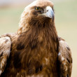 Golden eagles portrait — Stock Photo