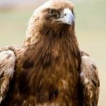 Golden eagles portrait — Stock Photo
