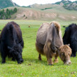 Grazing yaks - Photo