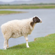 Stock Photo: Solitary sheep