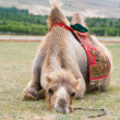 Exhausted camel — 图库照片