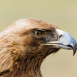 Golden Eagle. Aquila chrysaetos. — Stock Photo