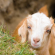 Stock Photo: Muzzle of goat