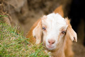 Muzzle of goat — Stock Photo