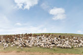 Flock of sheep led by goats — Stock Photo