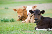 Lying calves — Stock Photo