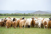 Grazing flock of goats and sheep — Stock Photo