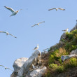 Gull rookery — Stock Photo