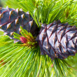 Cedar cones — Stock Photo #1405068