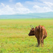 Stock Photo: Solitary cow