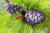 Cedar cones — Stock Photo