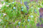 Branch of juniper with some green berries — Stock Photo