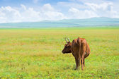 Solitary cow — Stock Photo