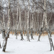 Stock Photo: Birch forest in winter