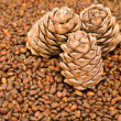 Cedar cones — Stock Photo