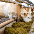 Cows eating hay from feeding rack — Stock Photo