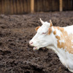 Cow in profile — Stock Photo #1418743