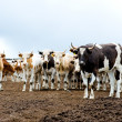 Herd of beef cattle at farm — Stock Photo